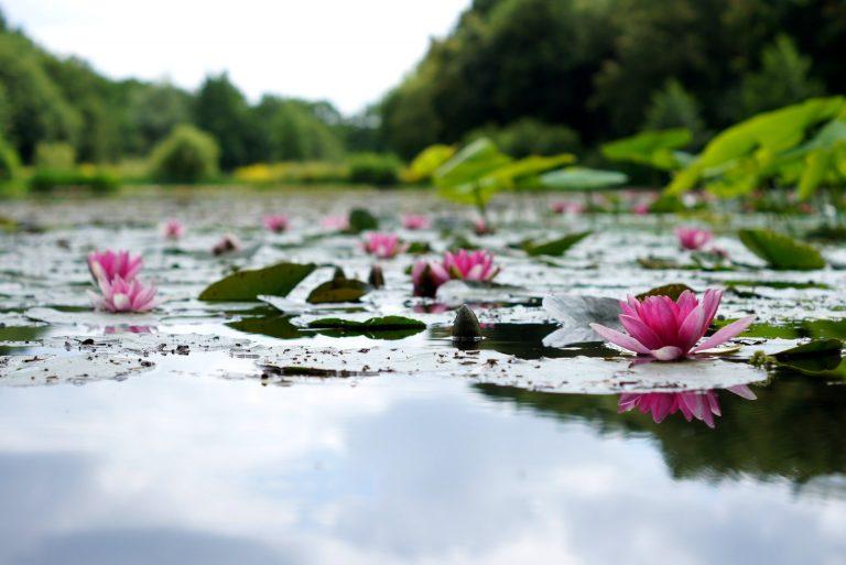 photo etang lotus