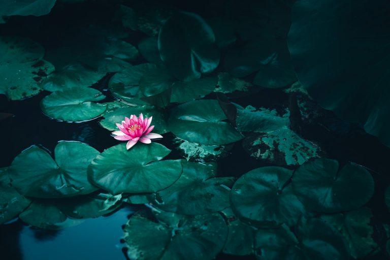 lotus nature zen