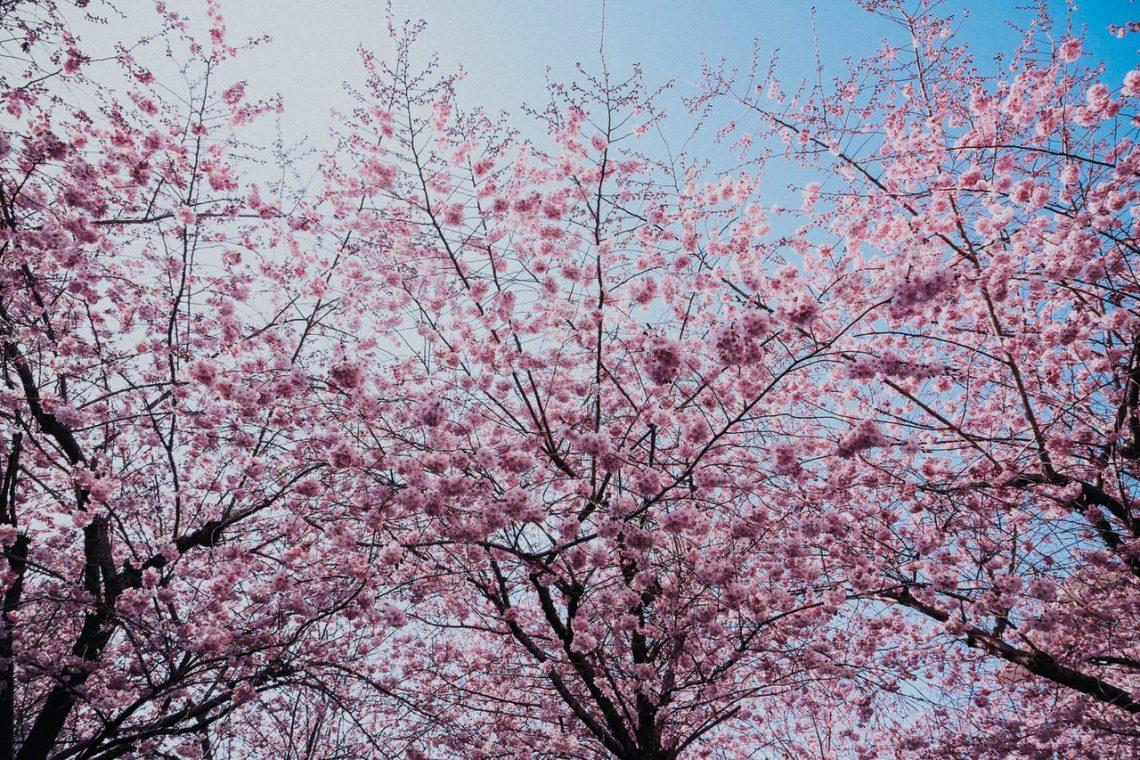 printemps cerisier